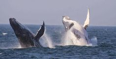 The KwaZulu-Natal coastline is whale territory par excellence. In season, breaching Humpbacks are abundant, and if luck smiles on you, Southern right, Brydes and Minke whales may also be seen.