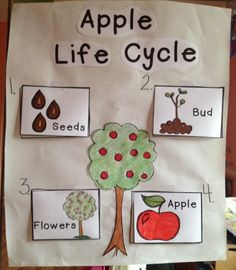 Apple Life Cycle Chart. I made this chart using pictures to show how an apple grows. Then children had to complete the individual learning page.