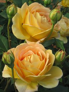 ~Rosa 'Golden Celebration' - yellow roses