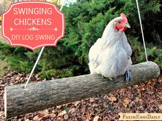 Fresh Eggs Daily®: Swinging Chickens: Make an Easy DIY Log Swing for your Run. Do your babies have a chicken swing :) Chicken Coup, Chicken Coop Plans, Building A Chicken Coop, Diy Chicken Coop, Moveable Chicken Coop, A Frame Chicken Coop, Chicken Garden, Chicken Feeders, Chicken Coop Designs