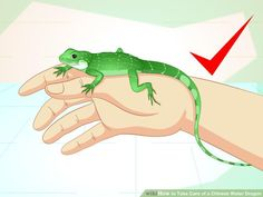 How to Take Care of a Chinese Water Dragon. Chinese water dragons can make great pets. However, you should be prepared to properly care for them. Like all reptiles, they require careful attention, need specialized diets, controlled. Water Dragon Pet, Chinese Water Dragon, Terrarium, Monitor Lizard, Beautiful Dragon, Paludarium, Like Animals, Mother Of Dragons, Reptiles And Amphibians