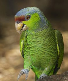 Lilac-crowned Parrots can be stubborn and live up to 50 years ! Leave in the wild!