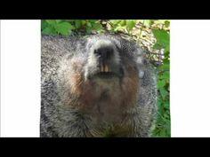 Marmotte Chiante (Humour) - Proverbes et Conseils  Voici quelques conseils, proverbes et plus...  #maitrefun #marmotte #chiante #marmottechiante #vulgaire #humour #drole #comique Voici, Animals, Proverbs, Advice, Animais, Animales, Animaux, Animal, Dieren