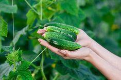 Obyčajná sóda bikarbóna je poklad pre každého záhradkára: 1 balík vystačí na celú sezónu, ten účinok je na nezaplatenie! Cas, Starting A Garden, Beets, Food Storage, Vegetable Garden, Cucumber, Carrots, Vegetables, Gardening