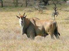 Image result for eland