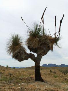 Studium a cestování v Austrálii - Flinders Ranges - Kukabara Amazing Photos, Cool Photos, Bird People, Tree Forest, Native Plants, Landscape Architecture, Wild Flowers, Grass, Flora