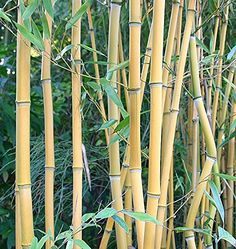 Box of 10 Phyllostachys Aureosulcata 'Lama Temple' Live Bamboo Plant.