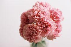 Pink carnation love