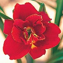 Fire of Fuji Reblooming Double Daylily - brecks 19.99