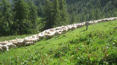 La custodia del bestiame (foto di M.Canziani) costituisce una delle principali forme di prevenzione dei danni da predazione da parte di grandi carnivori (www.uomoeterritoriopronatura.it).