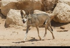 Arabian wolf (Canis lupus arabs) - PhotoStock -Israel