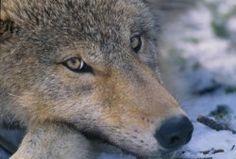 L'occhio del lupo e i suoi suggerimenti ai terapeuti