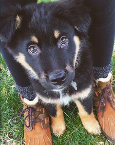 momma's boy   german shepherd puppy   SO cute