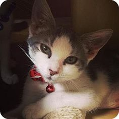 Philadelphia, PA - Domestic Shorthair. Meet Alexandra (foster care), a kitten for adoption. http://www.adoptapet.com/pet/15481056-philadelphia-pennsylvania-kitten