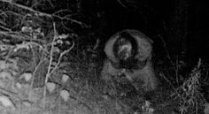Check out these two photos that an acquaintance of mine just sent to me. These came off of a trail cam that he has hanging in his timber. These trail cams are very popular with deer hunters. These pictures were taken way out in the country, not within 10 miles of the closest town. The closest house is about 5 miles away. Anyone want to offer up an idea of what is going on here, because I'm dumbfounded.