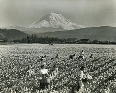 This looks like it is in Puyallup, and that looks like Mt. Rainier in the background... Daffodil picking back in the day