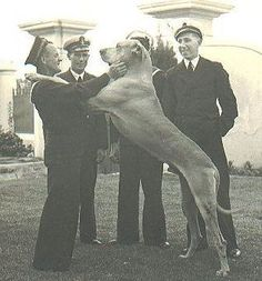 He was a Great Dane who between 1939 and 1944 served at HMS Afrikander, a Royal Navy shore establishment in Simon's Town, South Africa. He died in 1944 at the age of seven years and was buried with full military honors. Military Honors, Military Working Dogs, Save A Dog, Group Of Dogs, Royal Navy, Sa Navy, Cape Town South Africa, African History, Service Dogs