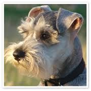 What a great shot..............Good looking Schnauzer!