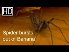 New Banana-spider Fruit. Although this particular video is a CGI, watch and learn the signs of something potentially deadly that can reside in your fruit snack!