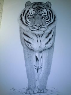Pen and ink drawing of Amur Tiger.  A2 original.  Prints available in A3 or A4.   www.yvonnemayartist.co.uk.