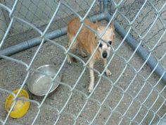Chihuahua dog for Adoption in Bakersfield, CA. ADN-746364 on PuppyFinder.com Gender: Male. Age: Senior