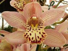 Zebra Orchids