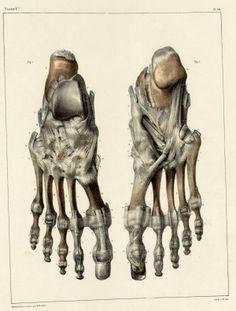 http://1.bp.blogspot.com/-zRBbHWNhnmA/TcdU9YVIRtI/AAAAAAAAHH4/aonl4V3cTyU/s1600/Bones+and+ligaments+of+the+foot.jpg