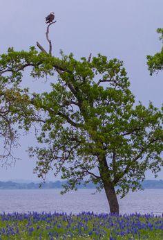 2015 - Bald Eagle and bluebonnets at Lake Somerville State Park near Brenham