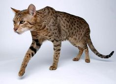 Ashera Cat - exotic domestic cat, part African Serval Cat, Part Asian Leopard, Part American House Cat - Cool!