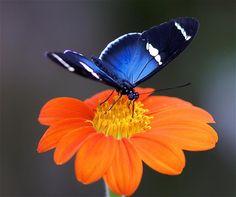 blue butterfly. orange flower. v/Pixdaus.