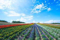 Flower fields and blue sky in Hokkaido stock photo