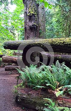 McMillan Park, a stand of ancient forest of giant cedars and other evergreens along Highway 4 between Parksville and Port Alberni, BC. Ancient forest area explaining the diversity that the forest offers in plants, insects and other vegetation. Ferns growing from a seed tree.