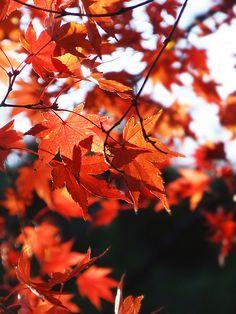 Japanese maple Fall Clip Art, Japanese Maple, Amazing Pics, Autumn Trees, Acer, Tree Of Life, Japan Travel, Trees To Plant, Shrubs