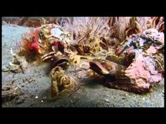 Natural   Muppet Fish