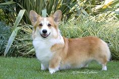 love Pembroke Welsh Corgi so much.#PembrokeWelshCorgi #dogs