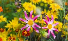 Dahlia Honka, 'Honka Surprise' Dahlia, Orchid Dahlias, Star Dahlias, Miscellaneous Dahlias, Pink Dahlia Flowers, Dahlia Tubers, Dahlia Bulbs, Dahlia Flower, Dahlia Flowers, summer bulbs