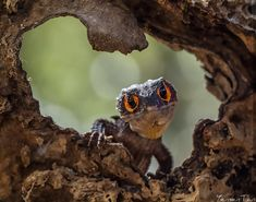 Incredible, cheerful pictures of frogs and other amphibians – Yensen Tan Les Reptiles, Cute Reptiles, Reptiles And Amphibians, Geckos, Wildlife Photography, Animal Photography, Red Eyed Crocodile Skink, Classroom Pets, Pet Supplements