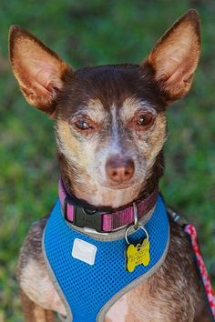 Meet Robert Browning, an adoptable Chihuahua looking for a forever home. If you're looking for a new pet to adopt or want information on how to get involved with adoptable pets, Petfinder.com is a great resource.