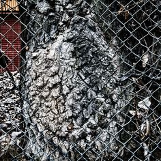 A tree that grew right into a fence over the passage of time. Montreal, near the river and that old processing plant now idled.