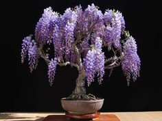 As you probably already know, bonsai is the Japanese art of growing miniature trees or shrubs in planters. You've may have alreadyseen at least some tiny potted junipers, a common species for bonsai, at some point, but actually many different species are suitable for bonsai, including some flowering trees like wis ...