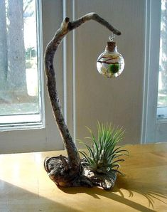 Driftwood Live Marimo Ball Air Plant Zen Ecosphere Terrarium - All For Garden Hydroponic Growing, Hydroponic Gardening, Hydroponics, Indoor Gardening, Growing Plants, Gardening Tips, Air Plant Terrarium, Garden Terrarium, Moss Garden