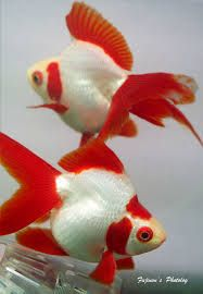 Image result for fantail fish