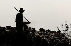 West Bank, Palestine: A Bedouin shepherd tends to his flock at sunrise on the outskirts of Jenin