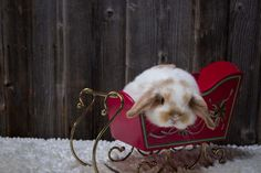 Broken orange Holland lop baby bunny all ready for Christmas in his sleigh.