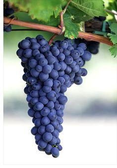 Refosco é uma família de uvas de pele escura. Antiga, suas origens nos levam à região banhada pelo Mar Adriático, onde estão Friuli-Venezia Giulia (nordeste da Itália), a Eslovênia e a Croácia.
