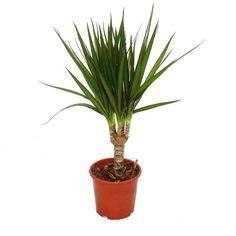 Pflanzen, Bäume & Sträucher - Drachenbaum - Dracaena marginata - 1 Pflanze…