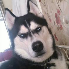 Husky 8 Pictures - Funny Dog Quotes - The post Grumpy Dog. Husky 8 Pictures appeared first on Gag Dad. Husky Humor, Funny Husky Meme, Dog Quotes Funny, Funny Dogs, Cute Dogs, Funny Animals, Cute Animals, Alaskan Husky, Grumpy Dog