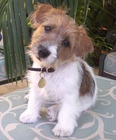 Jack Russell Terrier - A Dog in One Pack - Champion Dogs Cute Puppies, Cute Dogs, Dogs And Puppies, Doggies, Chihuahua Dogs, Terrier Puppies, Bull Terrier Dog, Terrier Mix, Rat Terriers