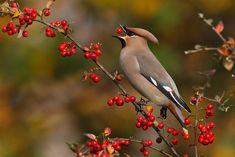 Pestvogels zetten soms een kuif op als ze zich in groepsverband tegoed doet aan een bessen. Fotograaf: TomvandenBrand