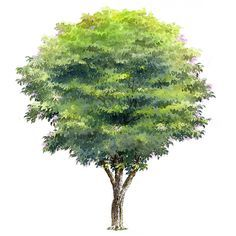 watercolor trees section render Texture Photoshop, Tree Photoshop, Photoshop Rendering, Photoshop Images, Photoshop Elements, Plant Sketches, Tree Sketches, Garden Drawing, Plant Drawing